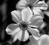 Daffodils in B&W by tigger3, contests->b/w challenge gallery