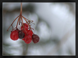 frozen berries by enon, Photography->Nature gallery