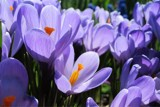 Crocus this Morning by trixxie17, photography->flowers gallery