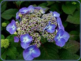 Lace Cap Hydrangea by trixxie17, photography->flowers gallery