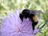 Minnesota Bee by ColoradoXC, photography->insects/spiders gallery