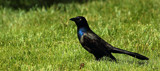 The Blackbird by tigger3, photography->birds gallery