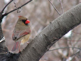 Central Park ~ Cardinal #2 by DeathScytheG, Photography->Birds gallery