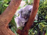 Koala by JEdMc91, Photography->Animals gallery