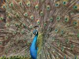 Peacock by Paul_Gerritsen, Photography->Birds gallery