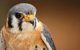 American Kestrel II by tweir, photography->birds gallery
