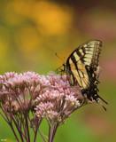 A Calendar Swallowtail by tigger3, photography->butterflies gallery