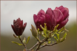 Red Magnolias by Ramad, photography->flowers gallery