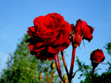 Red Rose by rvdb, photography->flowers gallery