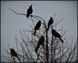 Crows by GIGIBL, photography->birds gallery