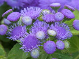 Ageratum #2 by Surfcat, Photography->Flowers gallery