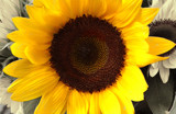 Sunflower by ptcappella, Photography->Flowers gallery