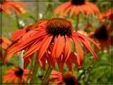 Ablaze by trixxie17, photography->flowers gallery