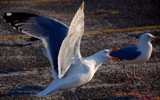 news item: seagull swallows seagull at hyannis beach by solita17, Photography->Birds gallery