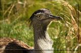 Kori Bustard 2 by Jimbobedsel, Photography->Birds gallery