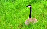 Goose in the grass by J_E_F, photography->birds gallery