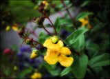 Rose of Sharon, Hypericum by LynEve, photography->flowers gallery