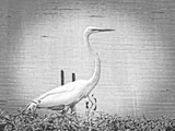 Old Long Neck by bfrank, contests->b/w challenge gallery