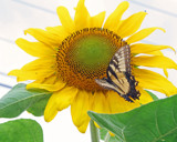 Sunflower and Company by jerseygurl, photography->flowers gallery
