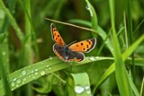 Small Copper by richwn, Photography->Butterflies gallery