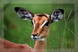 Image: Baby Impala