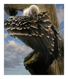 vulture by JQ, Photography->Manipulation gallery