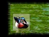Aix sponsa by Hottrockin, Photography->Birds gallery