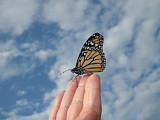 ♫And Butterflies Are Free To Fly♫ by Jims, Photography->Butterflies gallery