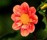 Dahlia Beautiful_Friday's Foofy by tigger3, photography->flowers gallery