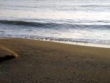 Beach Birds by xyccoc, Photography->Birds gallery