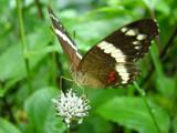 Rainforest Butterfly by jeremy_depew, Photography->Butterflies gallery