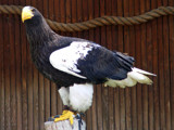 Steller's Sea Eagle by hirschikiss22, photography->birds gallery
