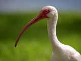 Ibis by Surfcat, Photography->Birds gallery