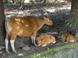 Cows in the City by Pistos, photography->animals gallery