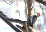 Outside My Window - The Red-Bellied Woodpecker by tigger3, photography->birds gallery
