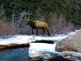 Elk by the River by ChuPat, Photography->Animals gallery