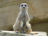 Meerkat by heuers, Photography->Animals gallery