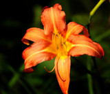 Calendar Lily by tigger3, Photography->Flowers gallery