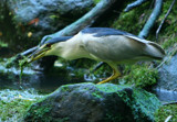 Fish Covered in Creek Weed by legster69, Photography->Birds gallery