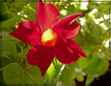 Red Mandevilla by trixxie17, photography->flowers gallery