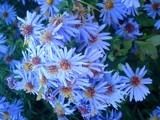 BLUE DAISY PETALS by woodsy, Photography->Flowers gallery