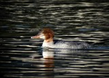 DUCK by picardroe, photography->birds gallery