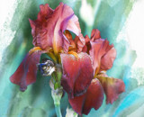 Iris Painting by nmsmith, illustrations->digital gallery