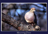 Mourning Dove by gerryp, Photography->Birds gallery