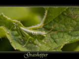 a bugs life (#1) the grasshopper by kodo34, Photography->Insects/Spiders gallery