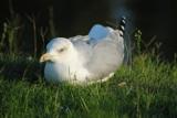 Gull by elektronist, photography->birds gallery