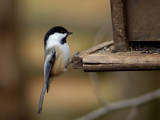Black Capped Chickadee by gerryp, Photography->Birds gallery