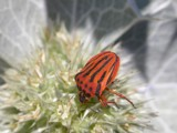 Scarlet Stripes by od0man, photography->insects/spiders gallery