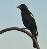 The Red Winged Blackbird by LakeMichigan, photography->birds gallery