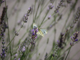 Butterfly on Lavender by s0050463, Photography->Butterflies gallery